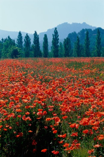 Stock Photo: 1406-122 Field of Poppies, Provence, France