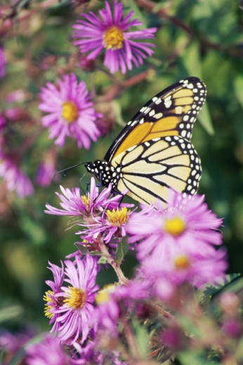 A Monarch butterfly on aster plants (Danaus plexippus) : Stock Photo
