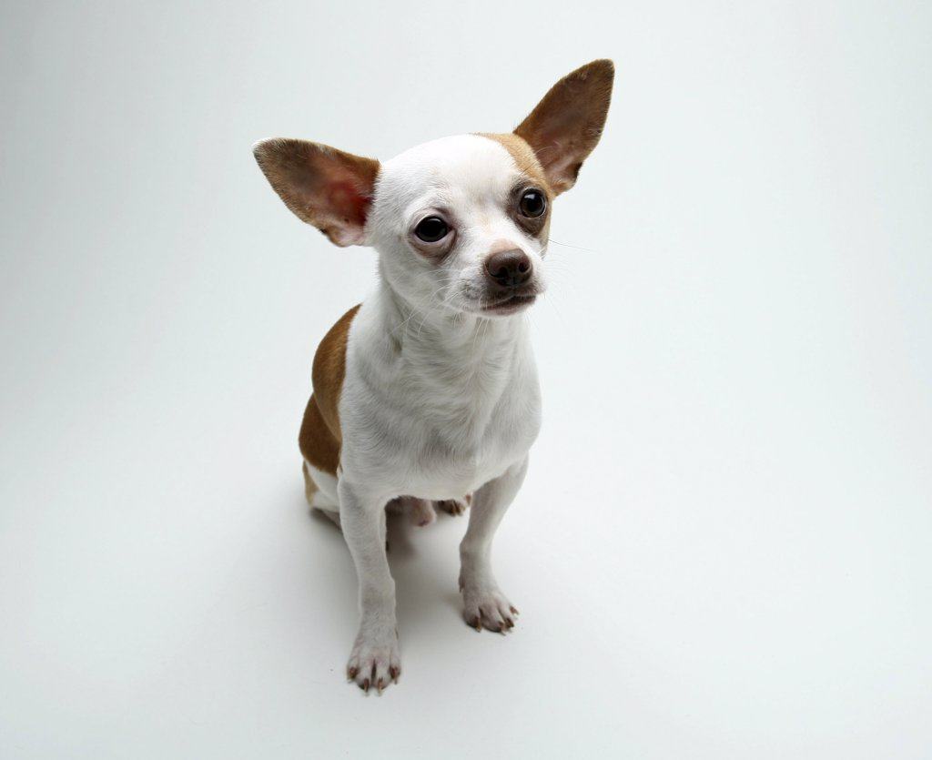 Stock Photo: 1418R-542F Chihuahua puppy sitting