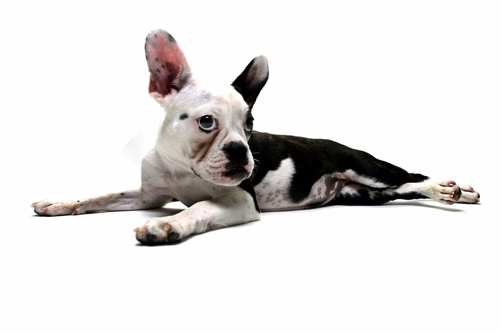 French bulldog puppy resting : Stock Photo