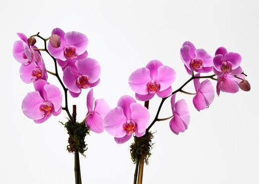 Stock Photo: 1422R-1136 Two flowering pink orchid branches (Pink phalaenopsis)