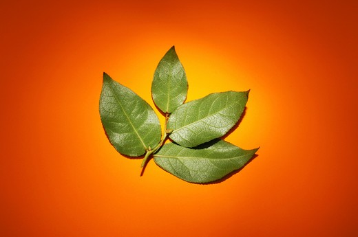 Stock Photo: 1422R-1142 Small branch with four green leaves on orange surface