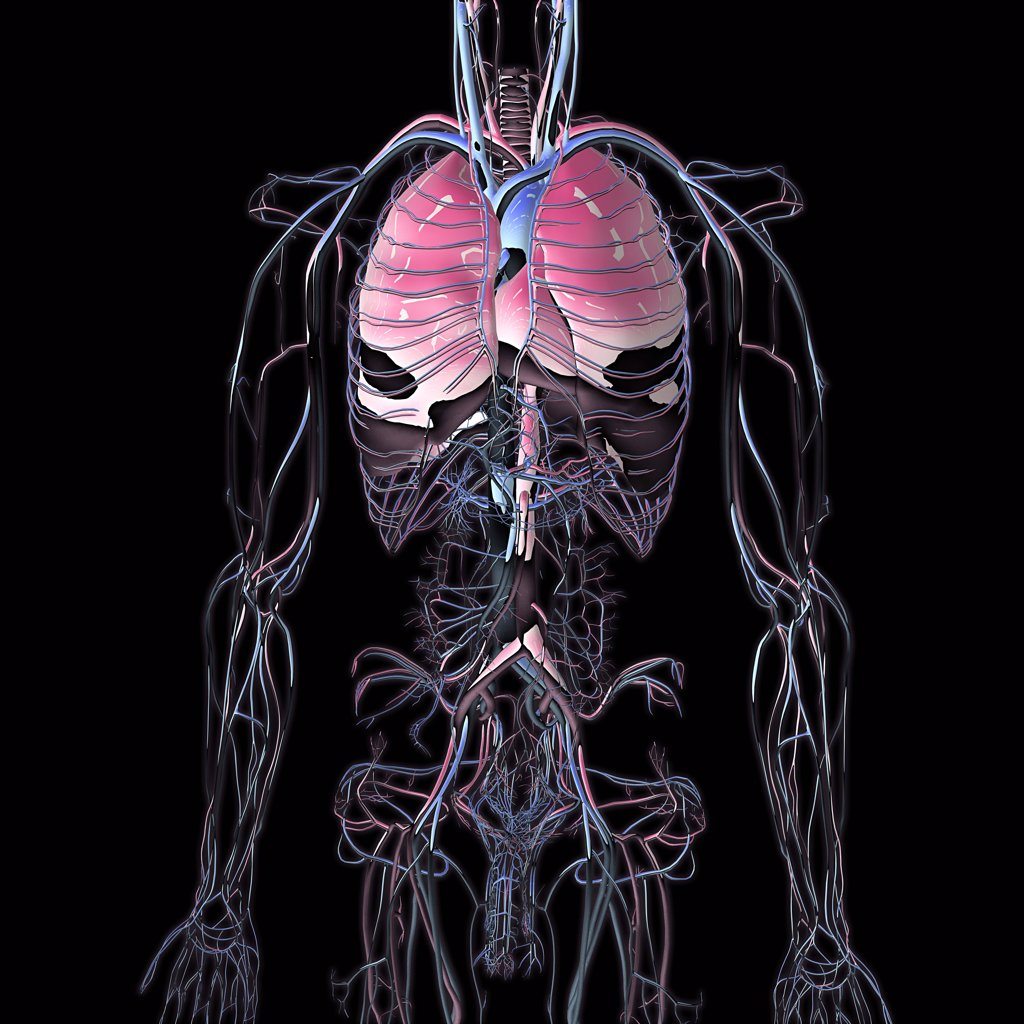 Stock Photo: 1428-1319 Metallic blue chrome torso veins, arteries and lungs on black background