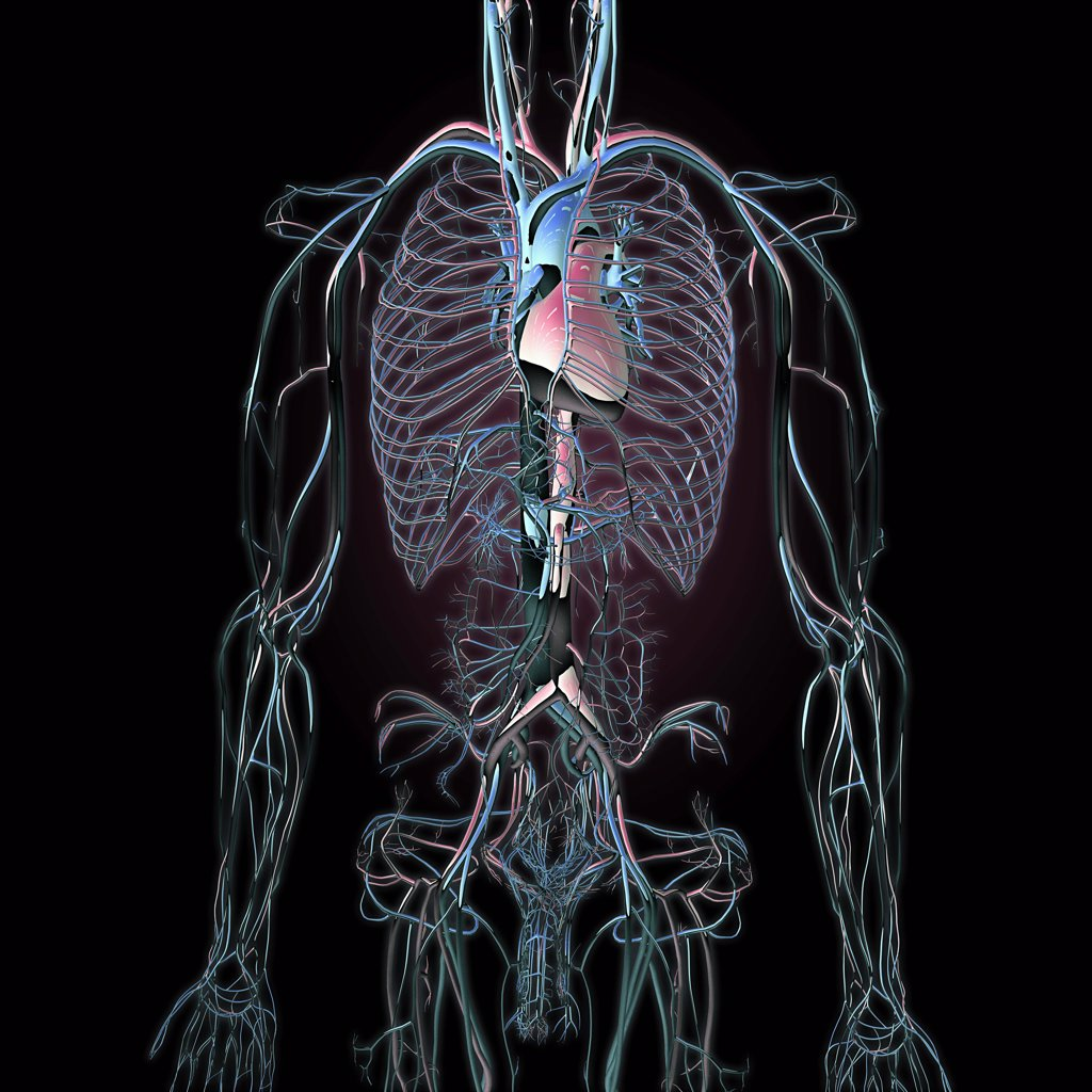 Stock Photo: 1428-1321 Metallic blue chrome torso veins, arteries and lungs on black background