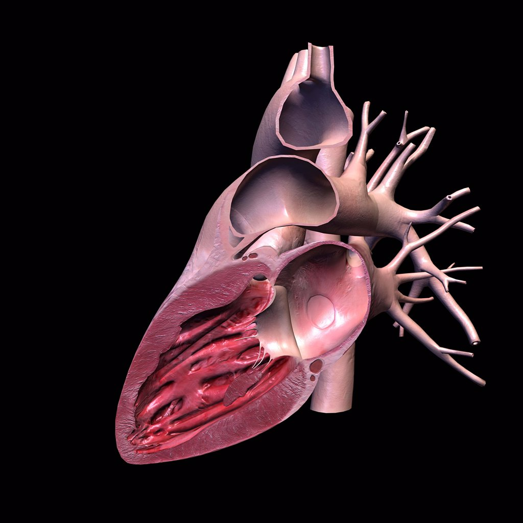 Cross section of human heart on black background : Stock Photo