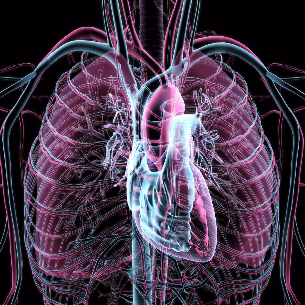 Stock Photo: 1428-1352 X-ray transparent view of circulatory system, heart, chambers, lungs, bronchial tubes, arteries and veins on black background