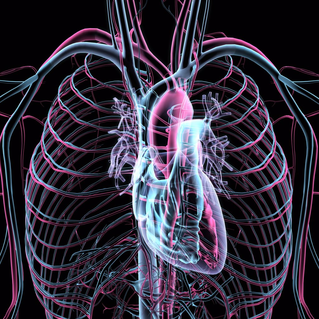 X-ray transparent view of circulatory system, heart, chambers, lungs, bronchial tubes, arteries and veins on black background : Stock Photo