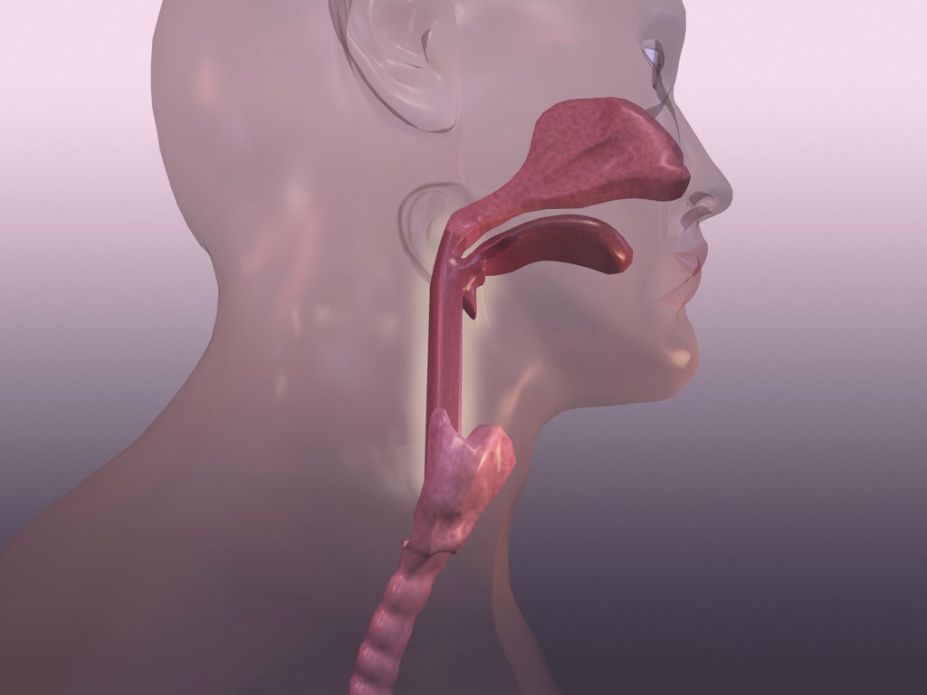 Close-up of a human respiratory system : Stock Photo