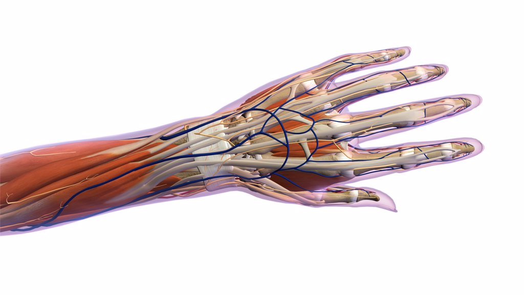 Stock Photo: 1428R-1378 Female hand and wrist anatomy, back, posterior view, Xray outlined skin, Xray outlined skin, Full color on white background