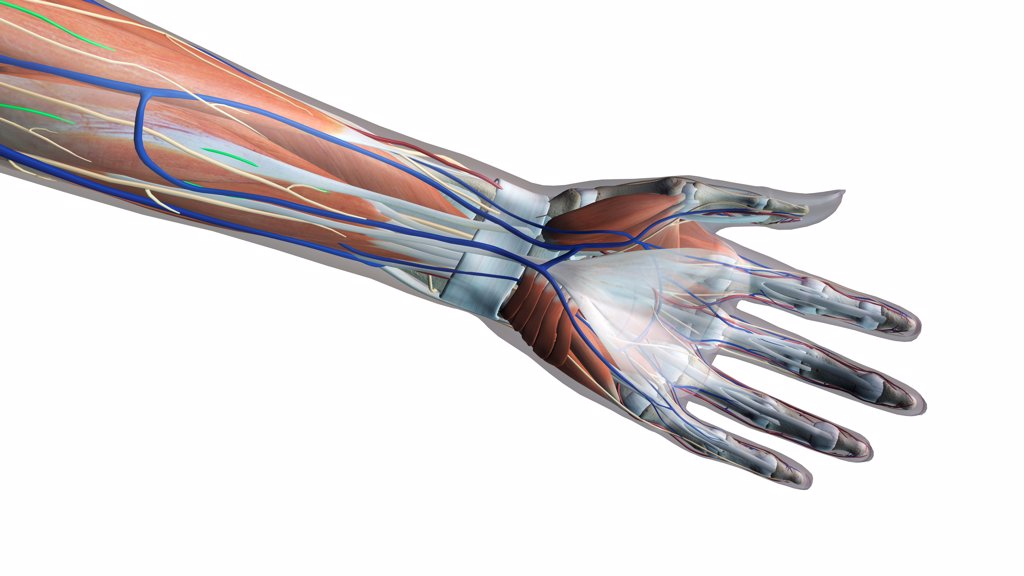 Stock Photo: 1428R-1384 Female palm and wrist, anterior view, Xray skin, detailed anatomy, full color on white background