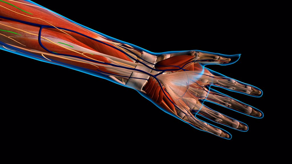 Female palm and wrist, anterior view, xray skin, detailed anatomy, full color on black background : Stock Photo