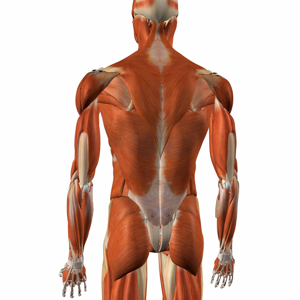 Stock Photo: 1428R-1398 Male back and rear muscles, detailed anatomy, full color 3D illustration on white background