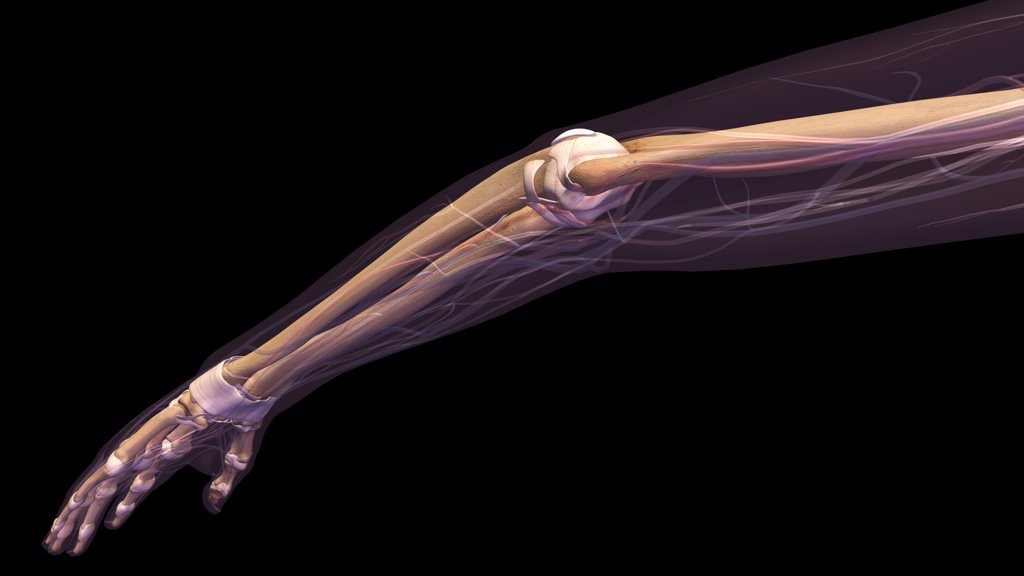 Stock Photo: 1428R-1399 Female elbow and forearm skeletal anatomy, side, posterior view. Full color 3D illustration on black background