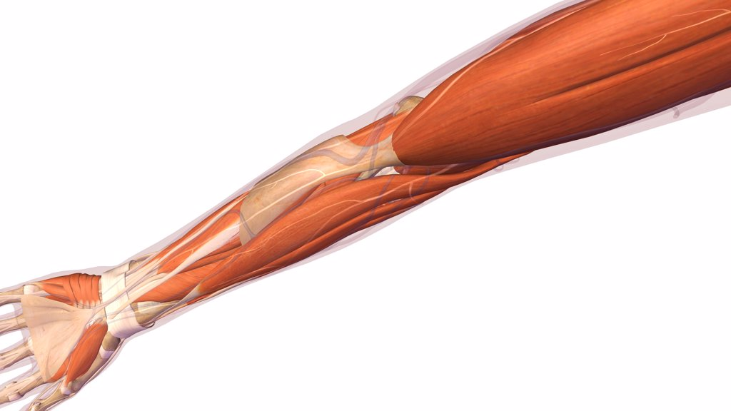 Stock Photo: 1428R-1405 Female elbow and forearm muscular anatomy, back, posterior view. Full color 3D illustration on white background