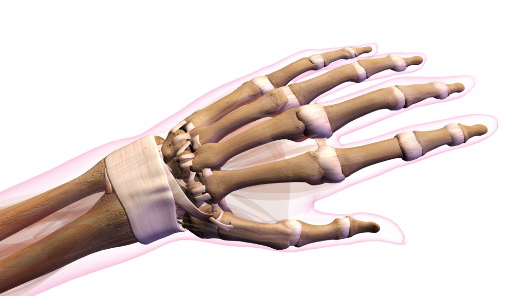 Stock Photo: 1428R-1408 Female bones of hand, wrist, thumb, and fingers anatomy, back, posterior view. Full color on white background