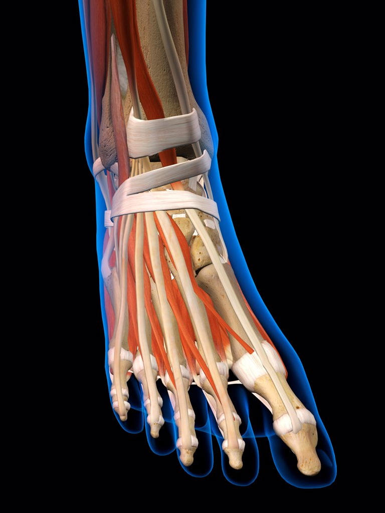 Front view X-Ray of female ankle and foot bones, muscles and ligaments. Full Color 3D computer generated illustration on Black Background : Stock Photo