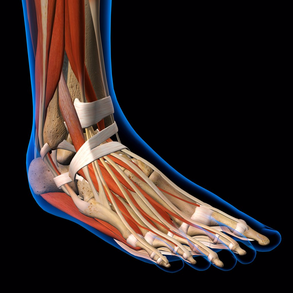 Stock Photo: 1428R-1417 Side View X-Ray of female ankle and foot bones, muscles and ligaments. Full Color 3D computer generated illustration on Black Background