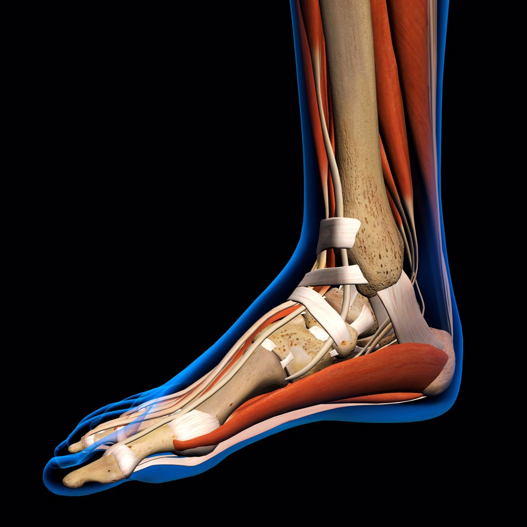 Stock Photo: 1428R-1418 Side View X-Ray of female ankle and foot bones, muscles and ligaments. Full Color 3D computer generated illustration on Black Background