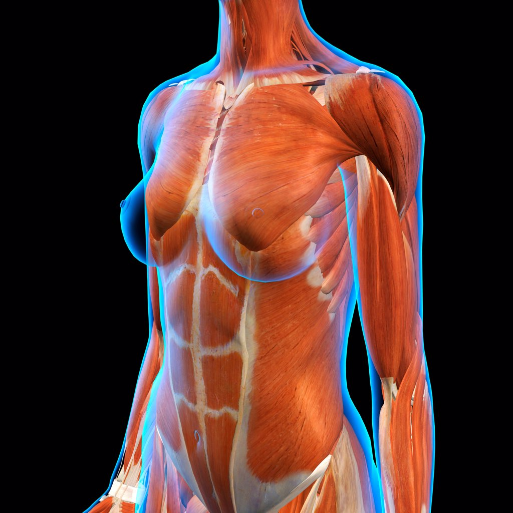Stock Photo: 1428R-1419 Female Chest and Abdominal Muscles Anatomy in Blue X-Ray outline. Full Color 3D computer generated illustration on Black Background