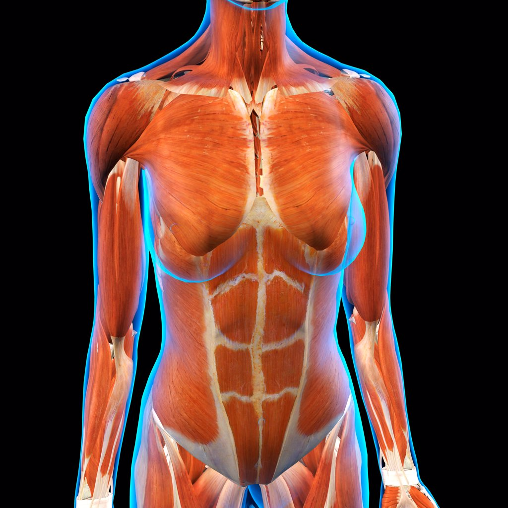 Front view of Female Chest and Abdominal Muscles Anatomy in Blue X ...