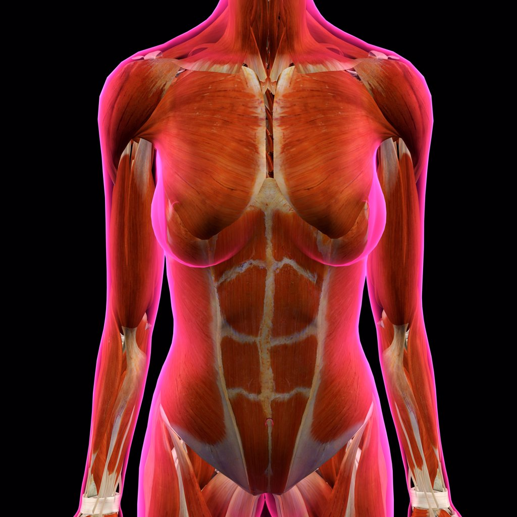 Stock Photo: 1428R-1422 Front view of Female Chest and Abdominal Muscles Anatomy in Pink X-Ray outline. Full Color 3D computer generated illustration on Black Background