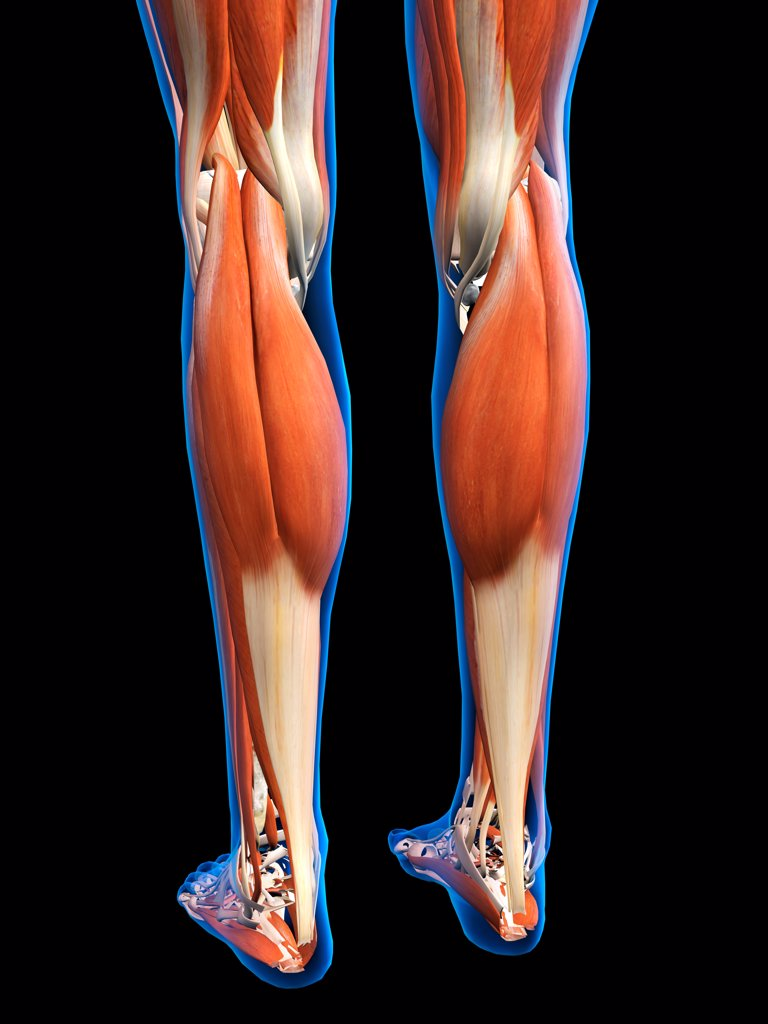 Stock Photo: 1428R-1428 Rear View of Female legs and feet muscles anatomy in blue X-Ray outline. Full Color 3D computer generated illustration on Black Background