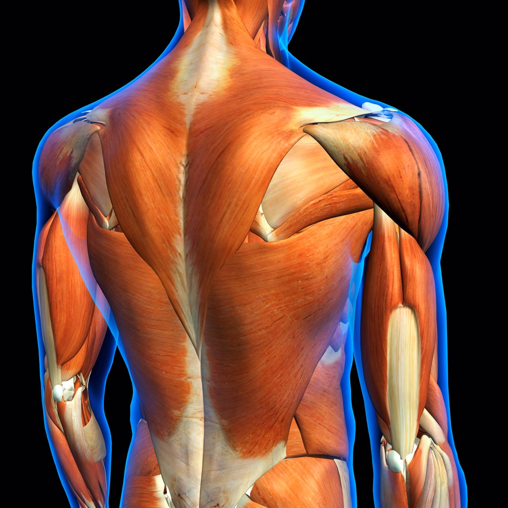 Stock Photo: 1428R-1430 Rear View of Male upper back muscles anatomy in blue X-Ray outline. Full Color 3D computer generated illustration on Black Background