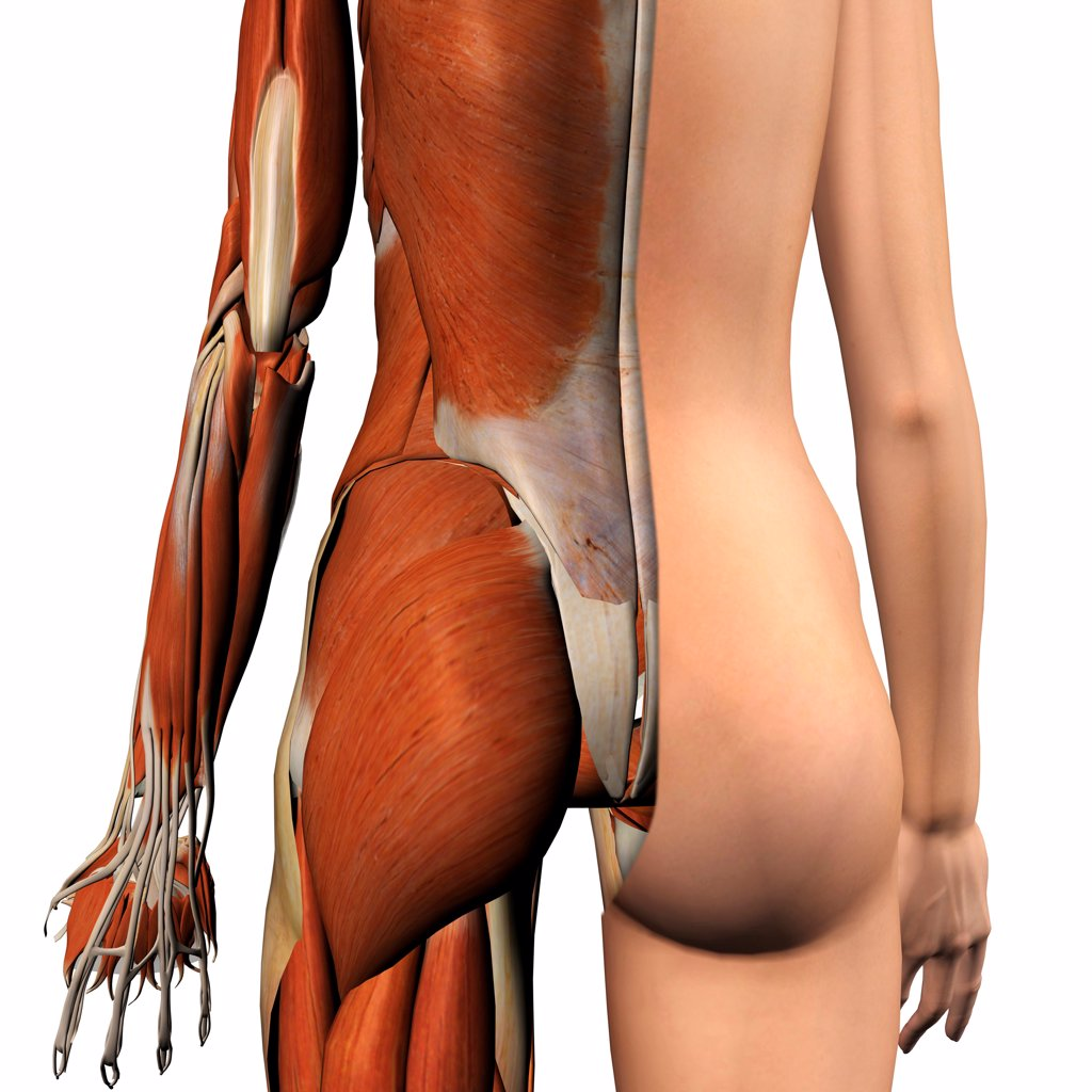 Cross-section anatomy of female buttocks and back muscles : Stock Photo