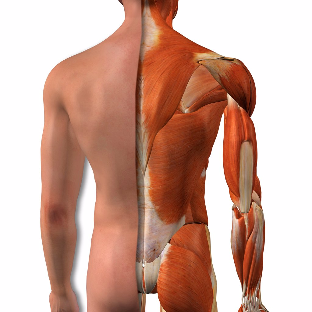 Cross-section anatomy of male buttocks and back muscles : Stock Photo