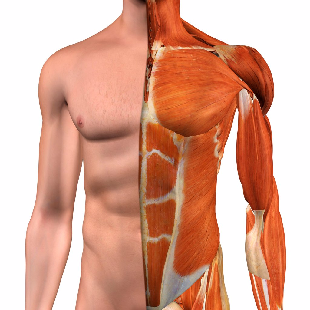 Cross-section anatomy of male chest , abdomen and groin muscles : Stock Photo