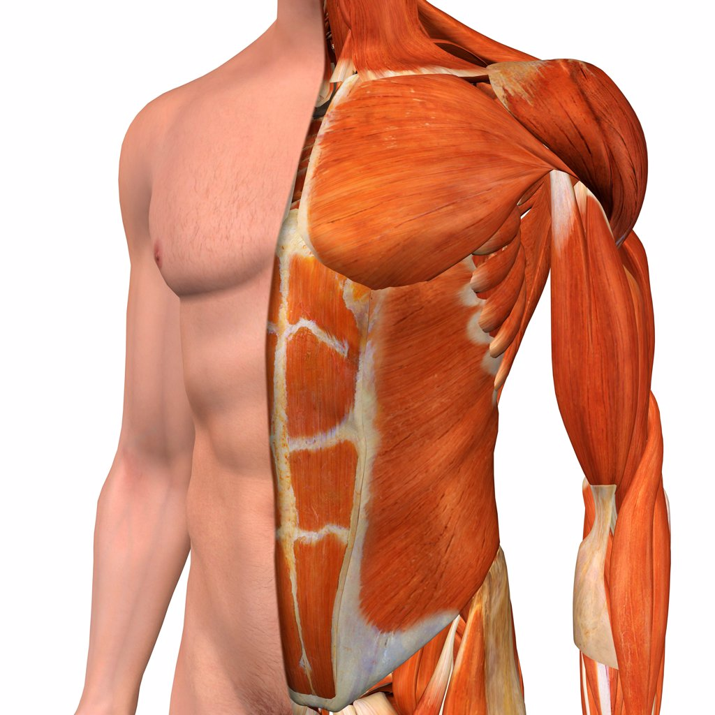 Stock Photo: 1428R-1445 Cross-section anatomy of male chest , abdomen and groin muscles