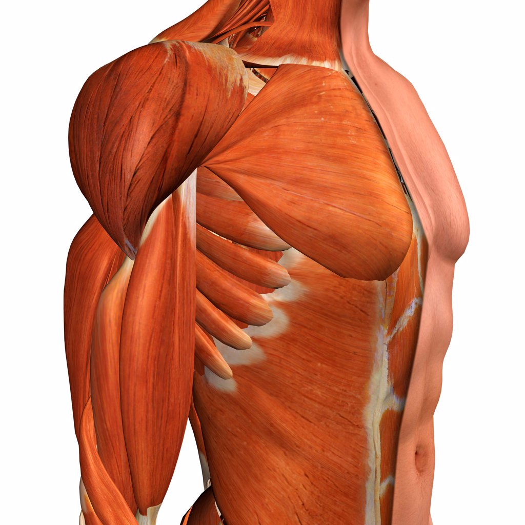 Cross-section anatomy of male chest, abdomen and groin muscles : Stock Photo