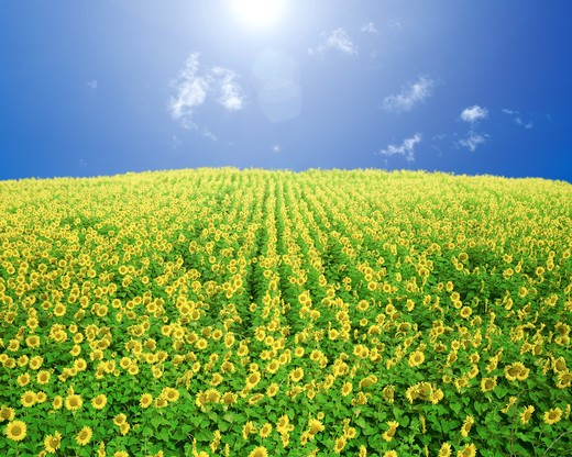 Stock Photo: 143R-7872 Sunflowers