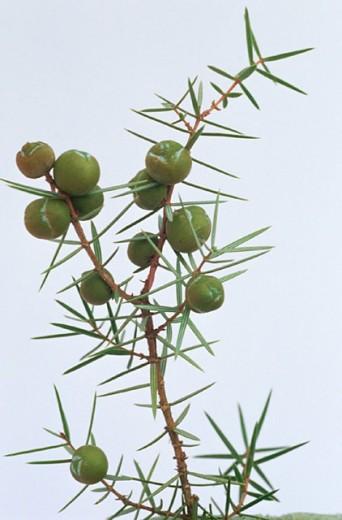 Stock Photo: 1436R-136011 Juniper (Juniperus communis)