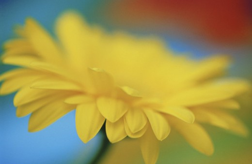 Gerbera Daisy : Stock Photo