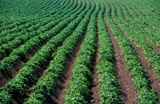 Stock Photo: 1436R-187037 Potato Field
