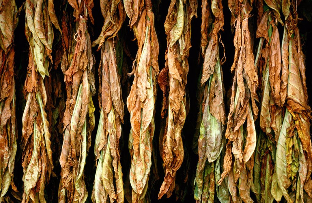 Tobacco Navarre Spain : Stock Photo