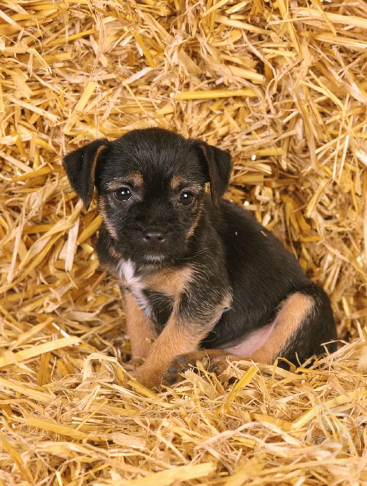Border Terrier : Stock Photo