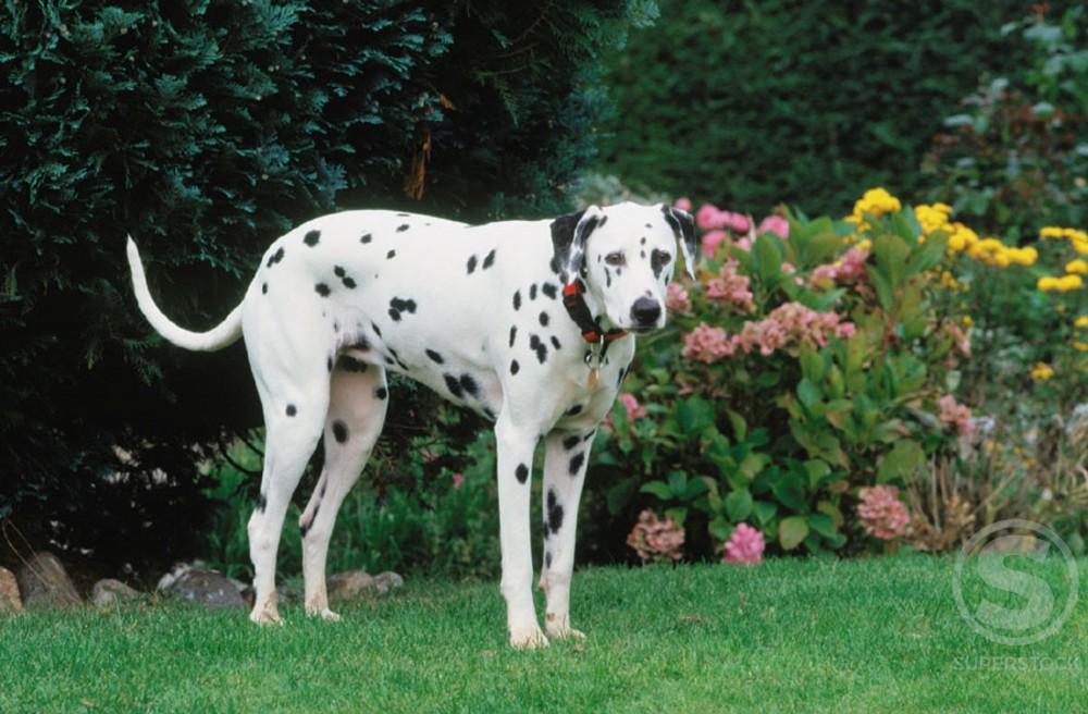 Dalmatian : Stock Photo