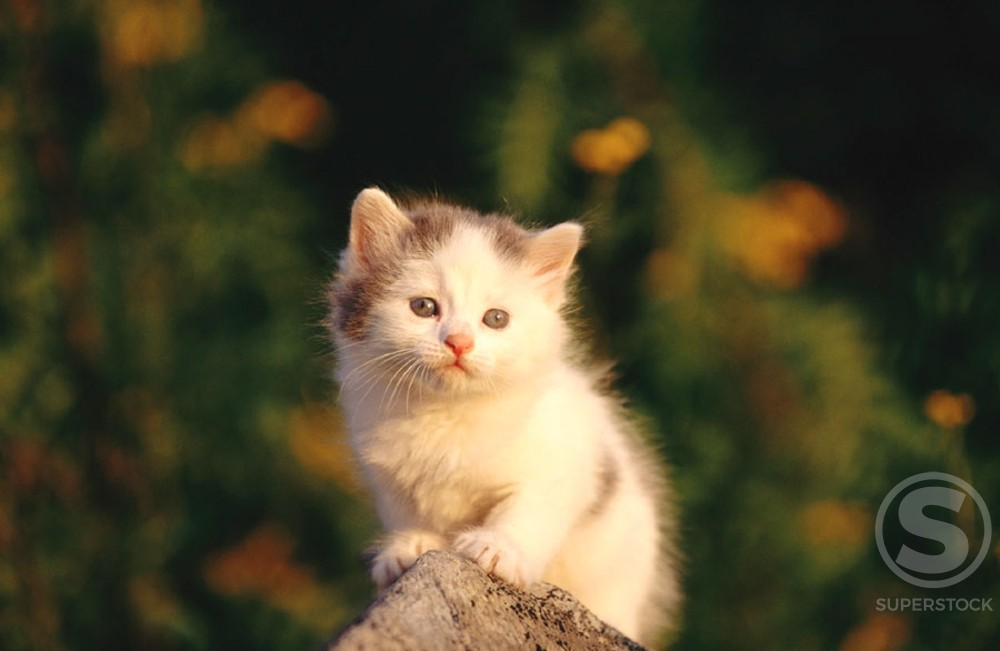 Domestic short hair kitten : Stock Photo