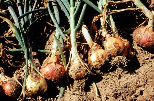 Stock Photo: 1436R-206073 Onions