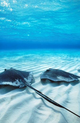 Southern Stingrays