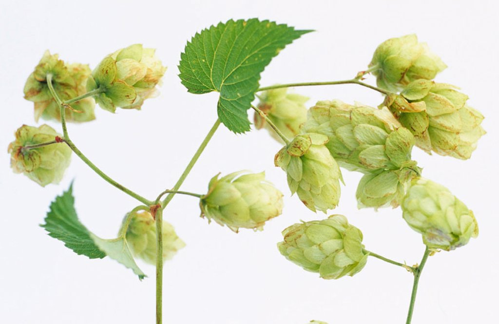 Stock Photo: 1436R-220035 Hops