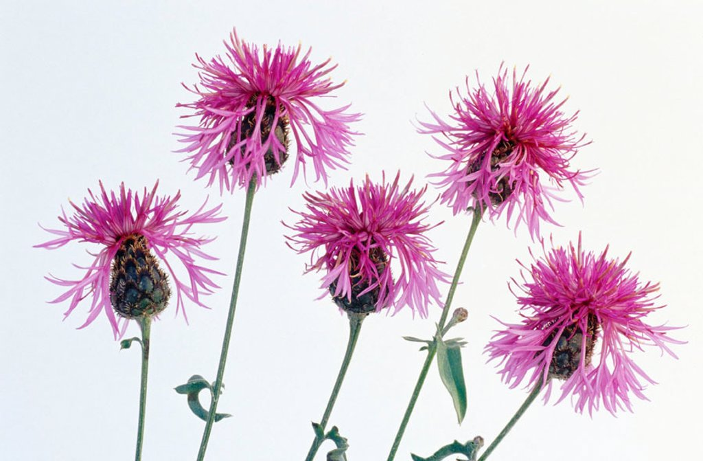 Stock Photo: 1436R-220048 Rough Star-thistles