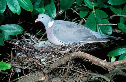 Woodpigeon : Stock Photo