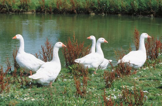 Geese : Stock Photo