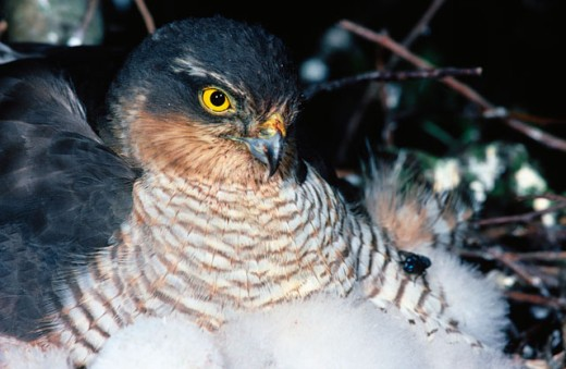 Sparrowhawk : Stock Photo