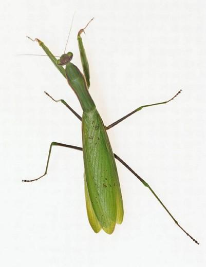 Stock Photo: 1436R-247933 Praying Mantis (Mantis religiosa)