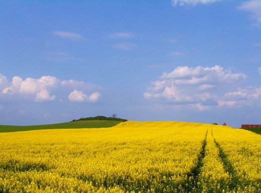 Stock Photo: 1436R-248537 Rape fields in full bloom, Denmark
