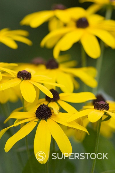Stock Photo: 1436R-248590 Sweet black-eyed Susan (Redbeckia submentosa) flowers. Cook County, Illinois USA.